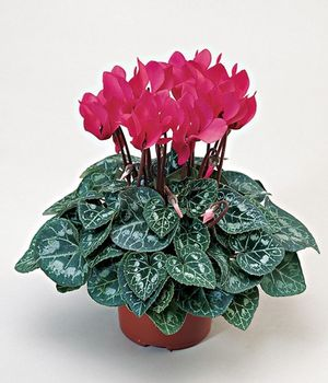 Cyclamen Deep Salmon