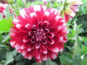 Dahlia Dalaya Red + White