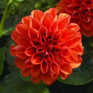 Dahlietta Rachel - orange