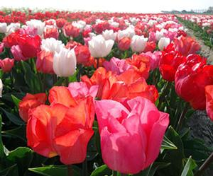 Tulip Color Parade