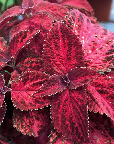 Coleus Kingswood Torch - red