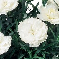 Dianthus Super Trooper White