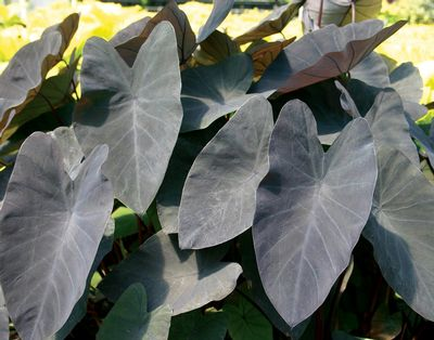 Colocasia 'Black Magic'