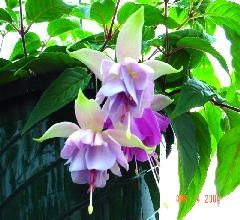 Fuchsia First Love - white & lavender