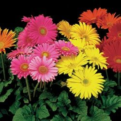 Gerbera Spider Flower Mix