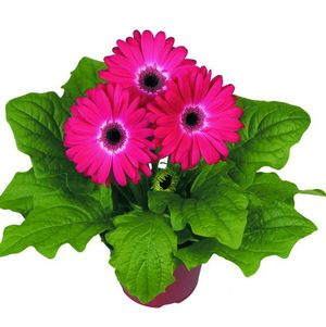 Gerbera Eyecatcher Purple