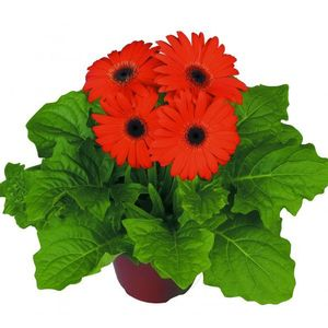 Gerbera Orange Dark Eye