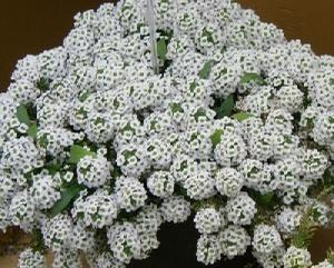 Lobularia White Stream