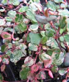 Muehlenbeckia Creeping Wire