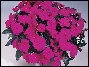 NG Impatiens 'Harmony Violet'
