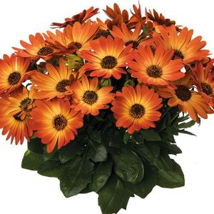 Osteospermum Margarita Orange Flare