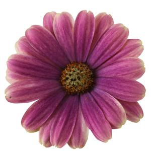 Osteospermum Margarita Blue Sunrise