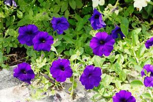 Petunia Easy Wave Blue
