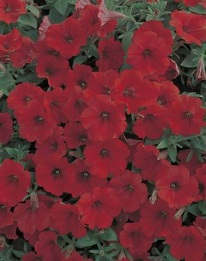 Petunia Surfinia Red