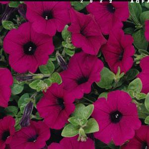 Petunia Wave Purple imp