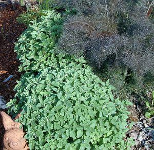 Oregano 'Greek'