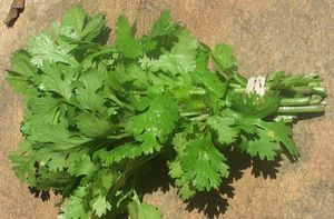 Parsley 'Italian'