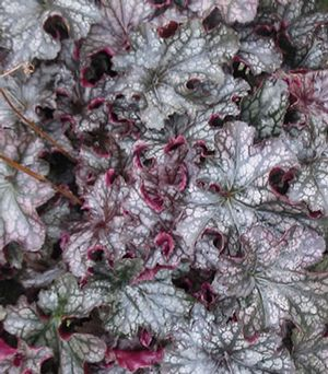 Heuchera Black Current