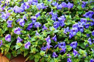 Torenia Summer Wave Large Blue