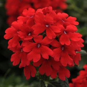 Verbena Endurascape Red