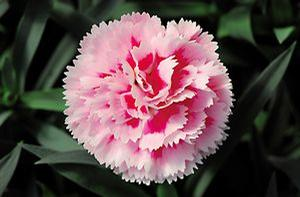 Dianthus Super Trooper Pink & White