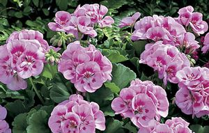 Geranium Americana Light Pink Splash