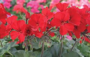 Basket Geranium Caliente Fire