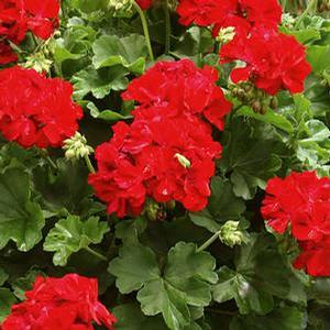 Geranium Calliope Dark Red