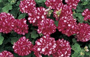 Geranium Freestyle Arctic Red