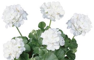 Geranium Rocky Mountain White