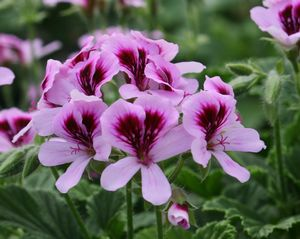 Geranium Pelargonium Orange Fizz - citrus