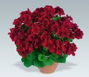 Geranium Aristo Velvet Red