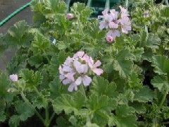 Geranium Pelargonium - Old Fashioned-Attar of Rose