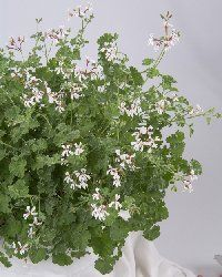 Geranium Pelargonium - Apple