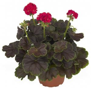Geranium Brocade Cherry Night