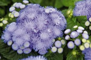 Ageratum Hawaii Blue 5.0