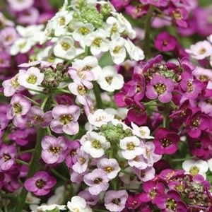 Alyssum Clear Crystals mix