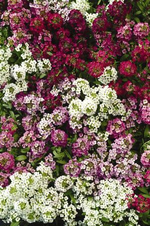 Alyssum 'Easter Bonnet mix'