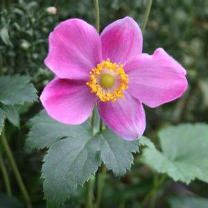 Anemone Pretty Lady Diana