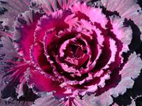Ornamental Cabbage 'Dynasty Red'