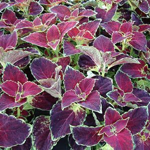 Coleus Dipped in Wine - red and green