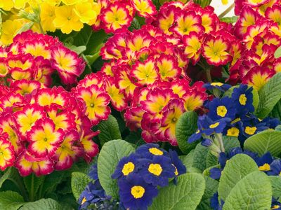 Primula SuperNova Mix