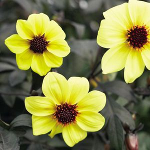 Dahlia Mystic Illusion - yellow
