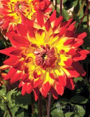 Dahlia Procyon yellow with red tips