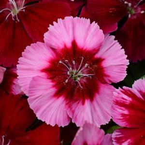 Dianthus Corona Red Magic