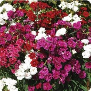 Dianthus Dynasty Mix