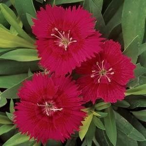 Dianthus Ideal Red