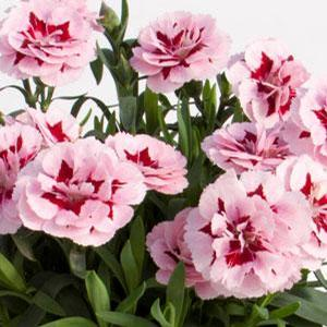 Dianthus Oscar Purple Star