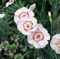 Dianthus Georgia Peach Pie