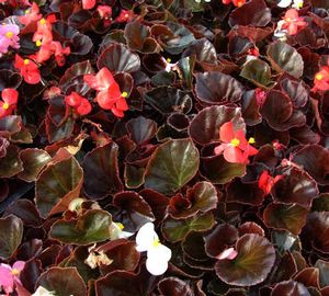 Begonia Bronze Leaf - mix
